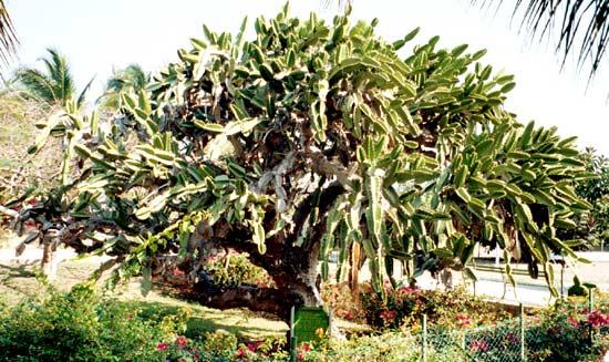 Natural Cactus
