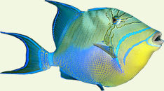 Triggerfish called Cochino in Bay of Pigs
